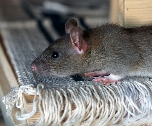 rat-control-services-melbourne